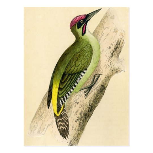 Antique Print of a Green Woodpecker Postcard