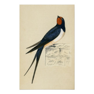 Antique Print of a Swallow