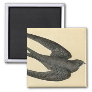 Antique Print of a Swift Magnet