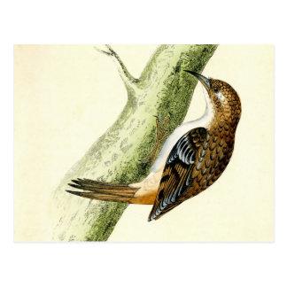 Antique Print of a Treecreeper Postcard