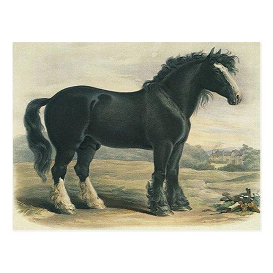 Antique Vintage Black Shire Draught Horse Postcard