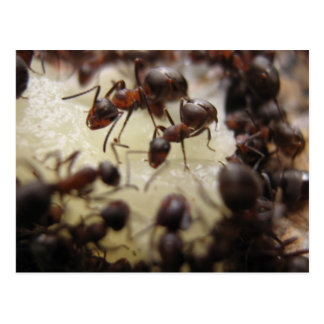 Ants on a piece of pineapple post cards