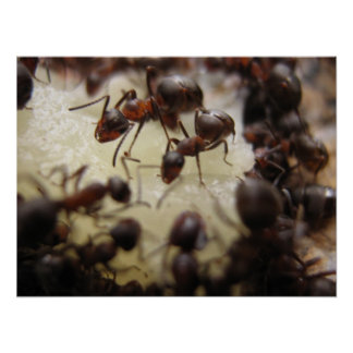 Ants on a piece of pineapple poster