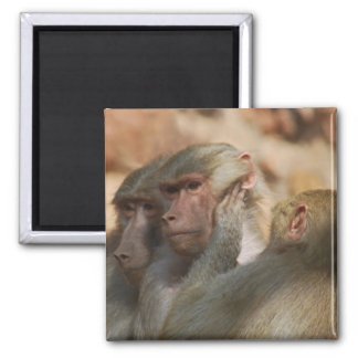 Apes clean ears refrigerator magnet