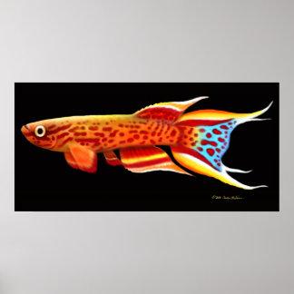 Aphyosemion Australe Killifish Poster