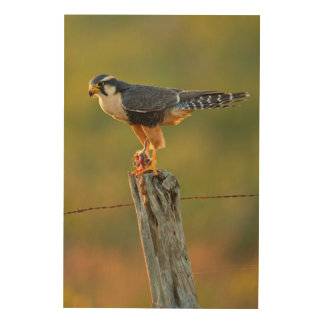 Aplomado Falcon (Falco Femoralis) Adult Feeding Wood Wall Decor