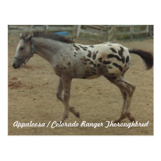 Appaloosa / Colorado Ranger Thoroughbred Colt II Postcard