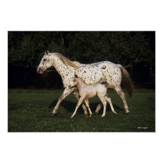 Appaloosa Mare And Foal in Field Poster