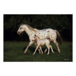 Appaloosa Mare And Foal in Field Posters