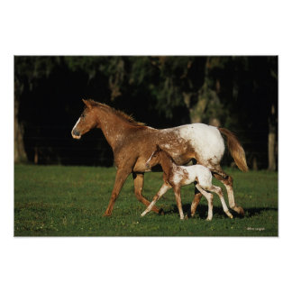 Appaloosa Mare And Foal Poster
