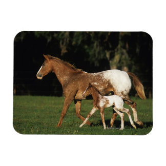 Appaloosa Mare And Foal Rectangular Photo Magnet