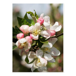 Apple blossom postcard
