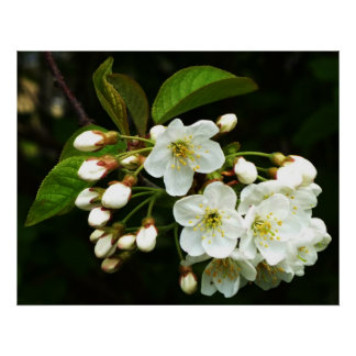 Apple Blossom ~ Print~ Poster