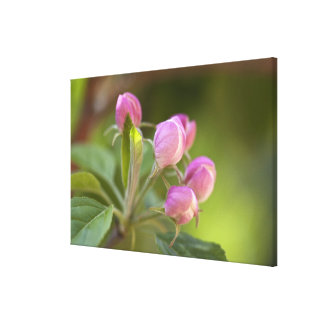 apple blossoms stretched canvas print