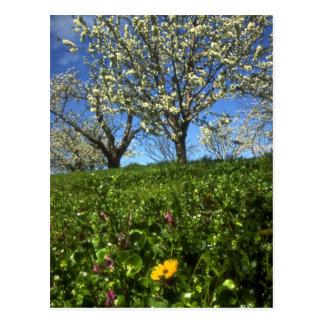 Apple blossoms, Hood River, Oregon Postcard
