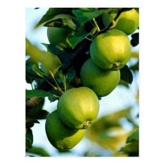 Apples, Ontario, Canada Postcard