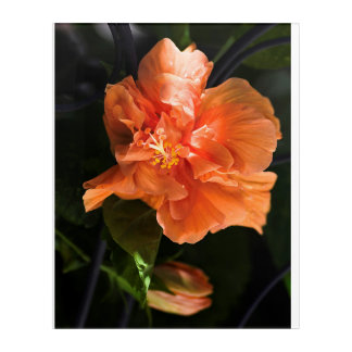 "Apricot Hibiscus Acrylic Wall Art, 16"" x 20"" Acrylic Print"