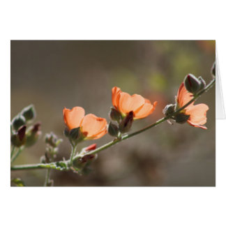 Apricot Mallow Flowers Blank Card