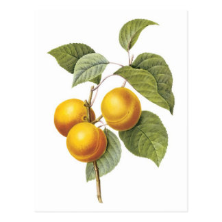 Apricot-Peach botanical illustration Postcard