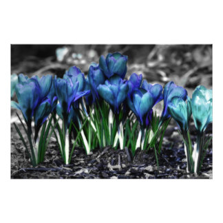 Aqua Blue Crocus Blooms Photo