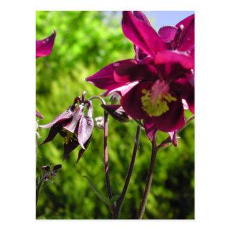Aquilegia. Plum purple flowers. Postcard