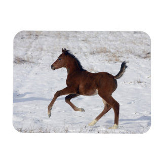 Arab Foal in the Snow Rectangular Photo Magnet