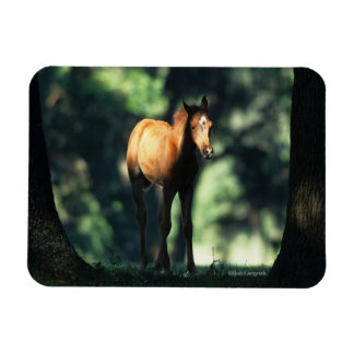Arab Foal in the Trees Rectangular Photo Magnet
