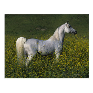 Arab Horse Standing in Flowers Postcard