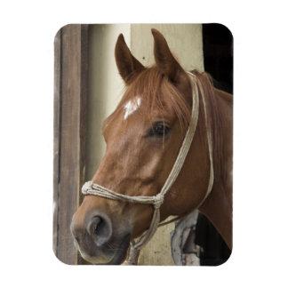 Arab Horses Premium Magnet Vinyl Magnets