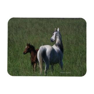 Arab Mare & Foal Rectangular Photo Magnet