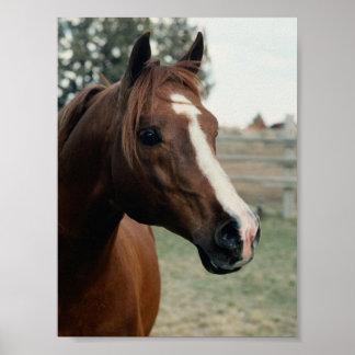 Arabian at Pasture Poster