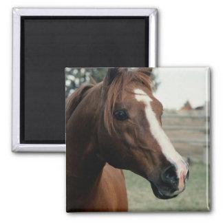 Arabian at Pasture Square Magnet
