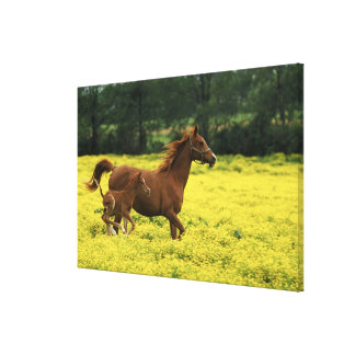 Arabian foal and mare running through canvas print