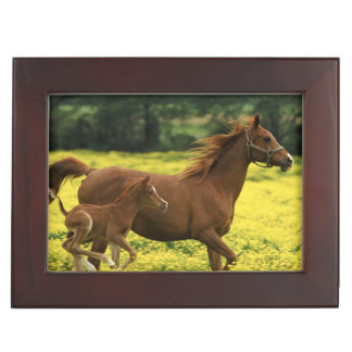 Arabian foal and mare running through keepsake box
