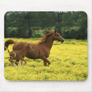 Arabian foal and mare running through mouse mat