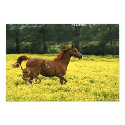 Arabian foal and mare running through art photo