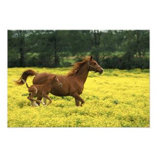 Arabian foal and mare running through photo print
