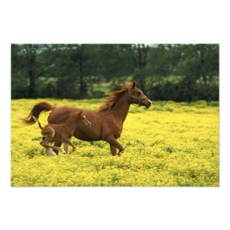 Arabian foal and mare running through photograph