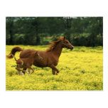 Arabian foal and mare running through postcards