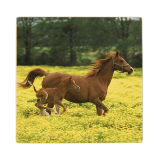 Arabian foal and mare running through wood coaster