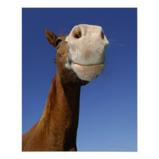 Arabian Horse, Bavaria, Germany Poster