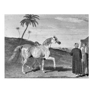 Arabian Horse Vintage Illustration Postcards