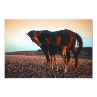 Arabian mare and colt photo print