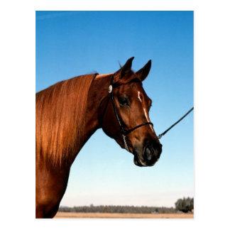 Arabian Show Horse Postcard