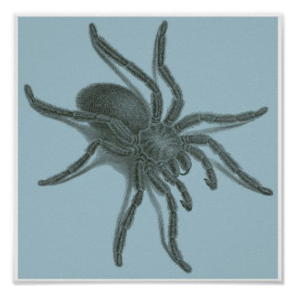 Aranea Avicularia, Black Cuban Spider Posters