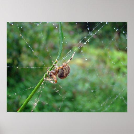 Araneus - Orb Weaver Spider Poster