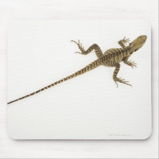 Arboreal agamid species native to Eastern Mouse Mat