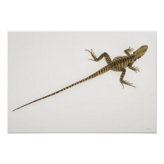 Arboreal agamid species native to Eastern Print