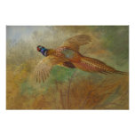 Archibald Thorburn Flying pheasant CC0087 Poster