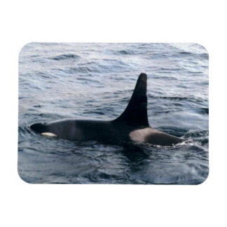 Arctic Beaufort Sea Orca Whale Photo Designed Rectangular Photo Magnet